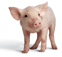 Baby Pig Names