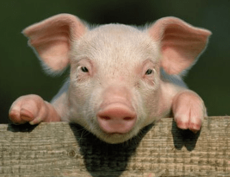 Cute Pig Names