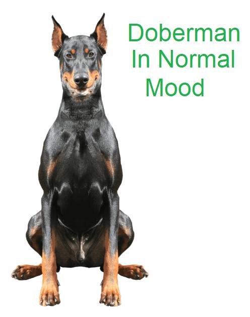 Doberman in normal mood