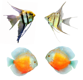 Fish Names For Fish Pairs and Twin Fish