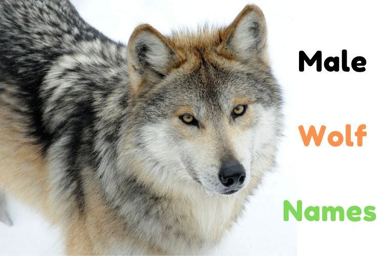 Male Wolf Names