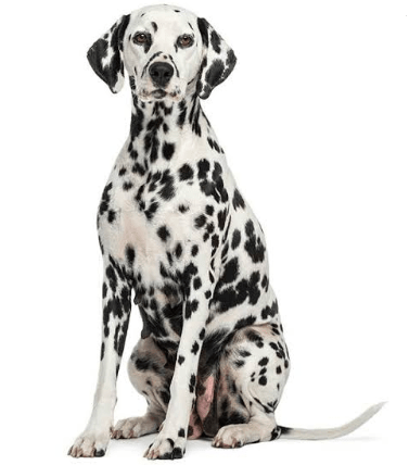 The 101 Dalmatians Dog Names