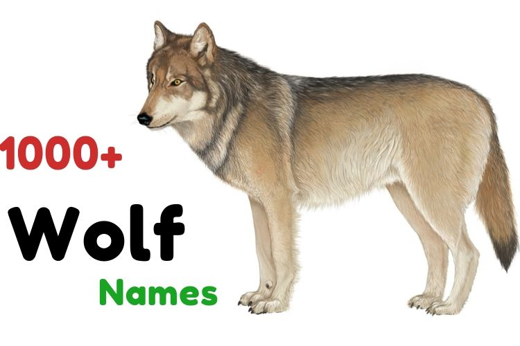 1001+ Wolf Names Cool Funny Famous Cute Great Names