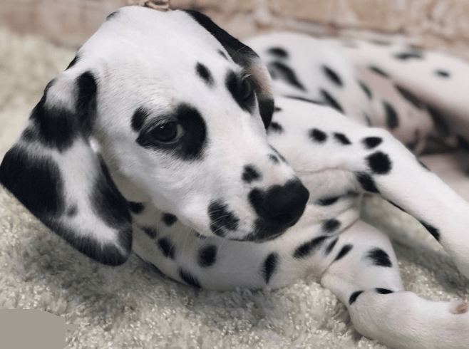 my favorite Dalmatian dog