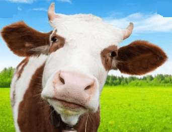 names of pet cow