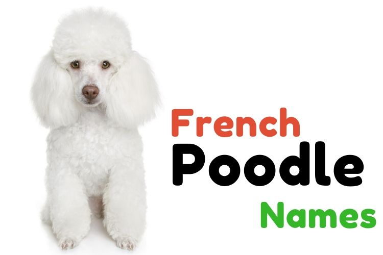 French-Poodle-Names