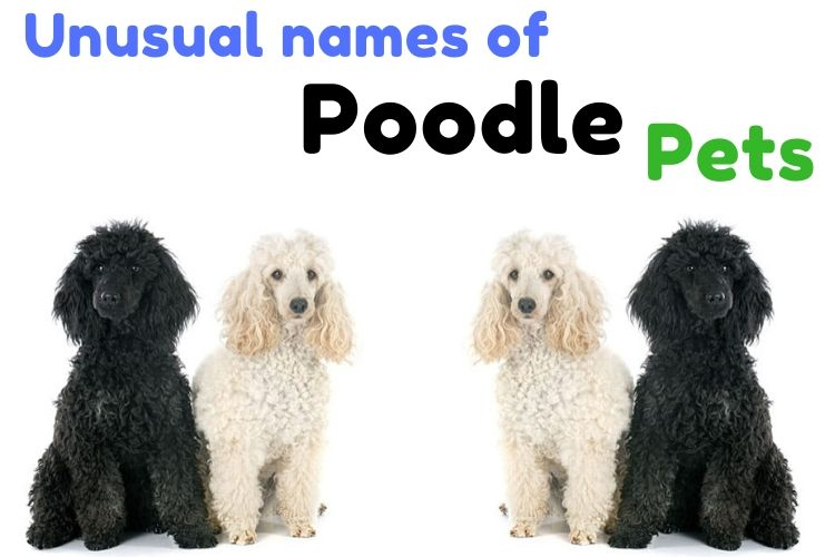 Unusual names of Poodle pets