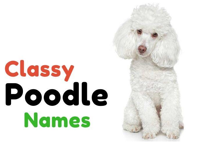 Classy Poodle Names