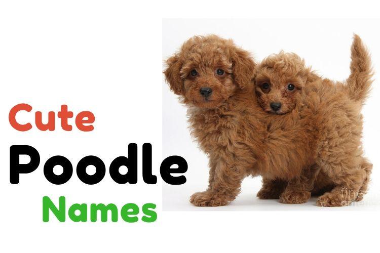 cute poodle names
