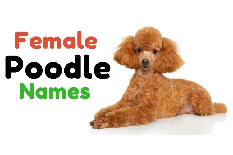 female poodle names