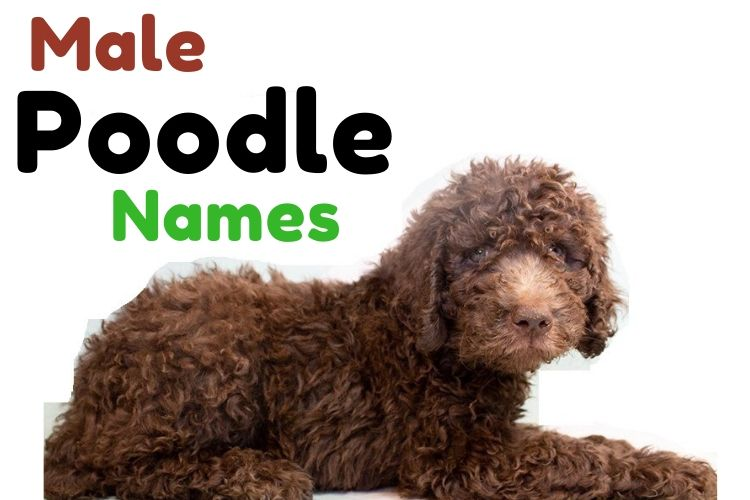 male poodle names