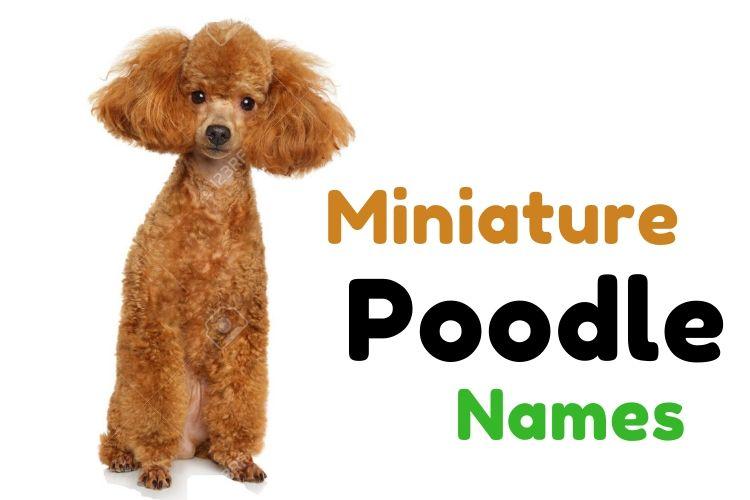 Miniature Poodle Names