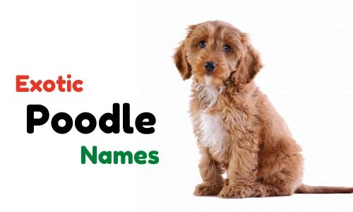 exotic poodle names