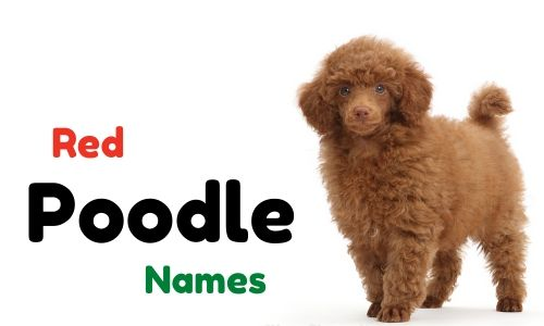 red poodle names